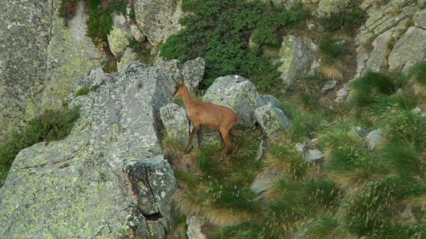 Les colles de caçadors per a la Setmana de l'isard s'hauran de constituir entre el 21 i el 30 d'agost