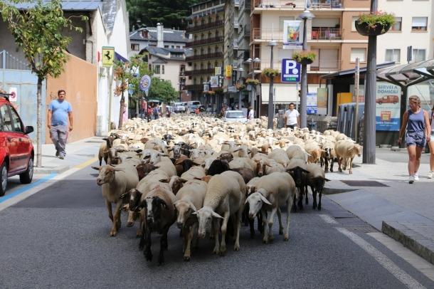 Prop de 2.000 ovelles fan el canvi de pastura del Cubil a Llumeneres