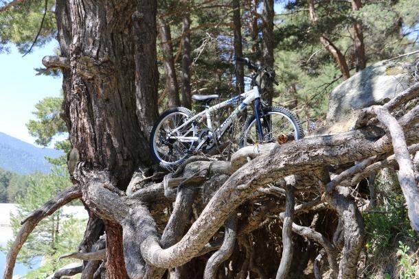 La bicicleta d'un infant, entre arrels d'Engolasters.