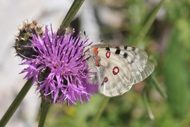 Flora del parc natural de la Vall de Sorteny.