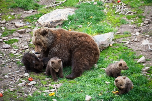 Les quatre noves cries d'ós bru.