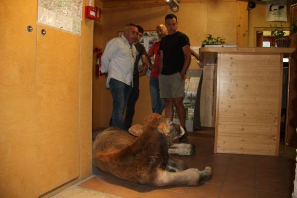 El vedell ferit a l'interior de l'oficina del Parc Natural de l'Alt Pirineu a Llavorsí.