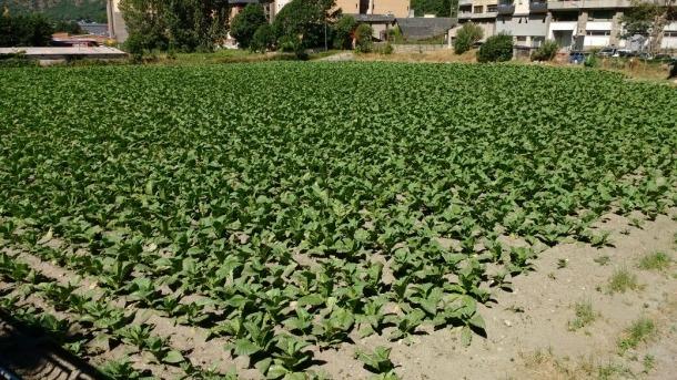 La pedregada del 10 de juliol malmet 338.000 plantes de tabac