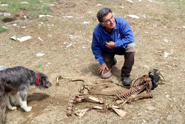 Un ramader mostra una cabra morta per un atac de l'os el 14 d'agost passat.