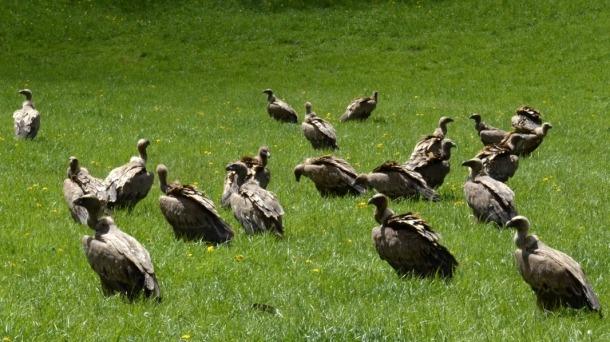 Exemplars de voltor comú en un prat del Pallars Sobirà.