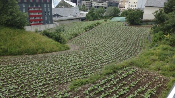 El cultiu del tabac representa el 8% de la superfície agrària útil