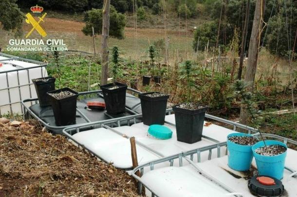 Detingut per cultivar 60 plantes de marihuana a l'Alt Urgell