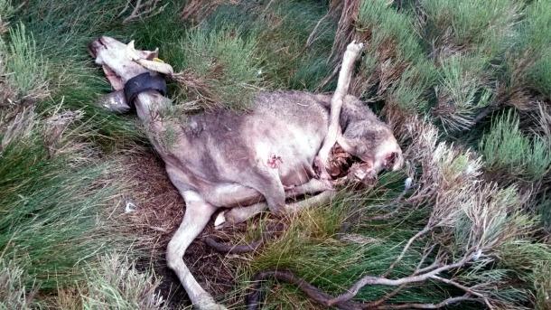 Dotze ovelles mortes per l'atac d'un ós a la muntanya de Boldís
