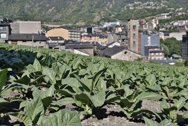 Una plantació amb el tabac encara per collir.