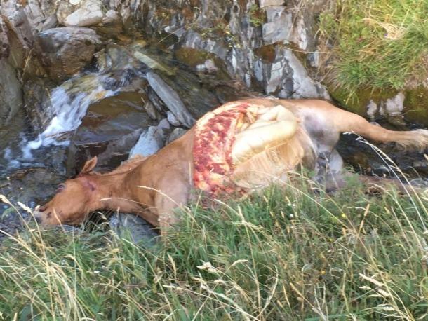 La darrera euga morta per l'os Cachou a la Vall d'Aran. conselh generau d'aran