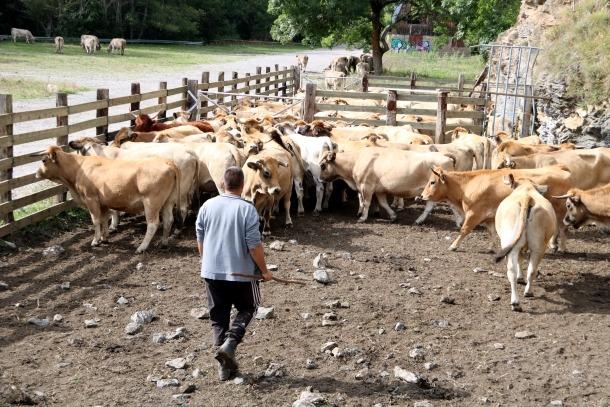 Un ramader amb les vaques que ha baixat de la muntanya.