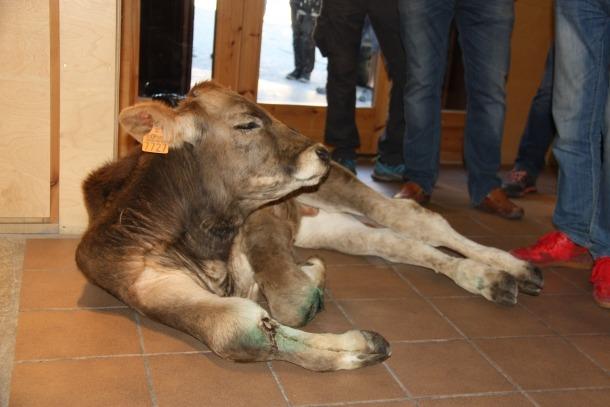 El vedell, abandonat a l'oficina del Parc Natural de l'Alt Pirineu el 27 d'agost passat, durant una protesta contra l'os Goiat.