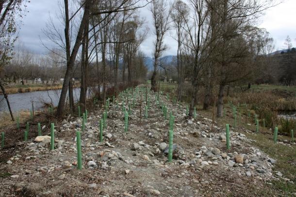 La plantació d'arbres que s'ha fet a les Basses de Gallifà.