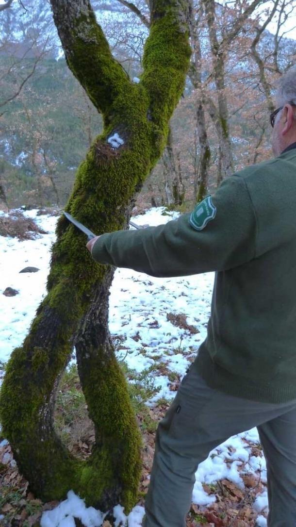 El roure fusionat que es vol protegir a la comarca de l'Alta Ribagorça.