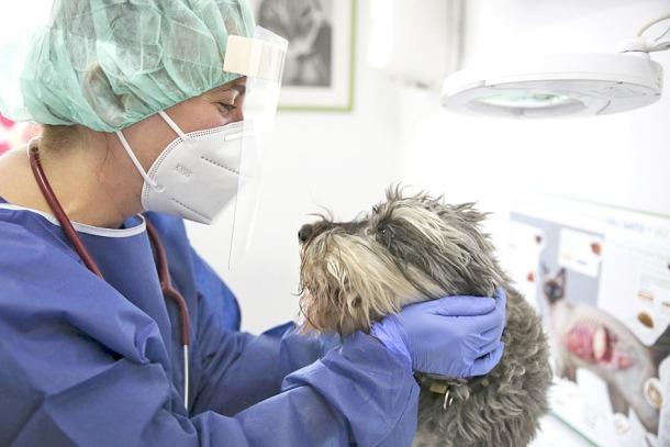 El gosset Mac, un Schnauzer que la setmana passada va passar pel dispensari de Pozo.