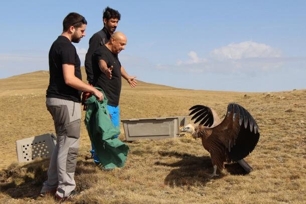 El voltor atès pel Centre de recuperació de fauna aixeca el vol al Pic Negre El voltor atès pel Centre de recuperació de fauna aixeca el vol al Pic Negre