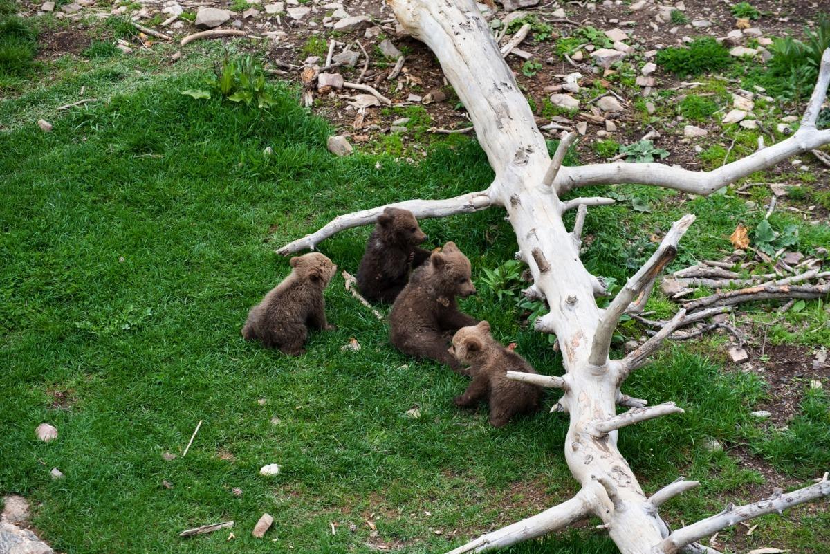 Naturlandia amplia la família d'óssos bruns amb quatre cries.