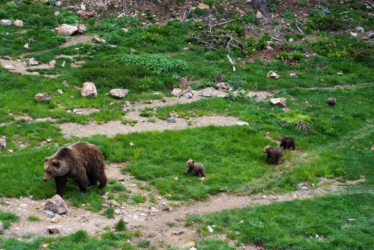 Imatge de les quatre cries d'ós bru que han nascut a Naturlandia.
