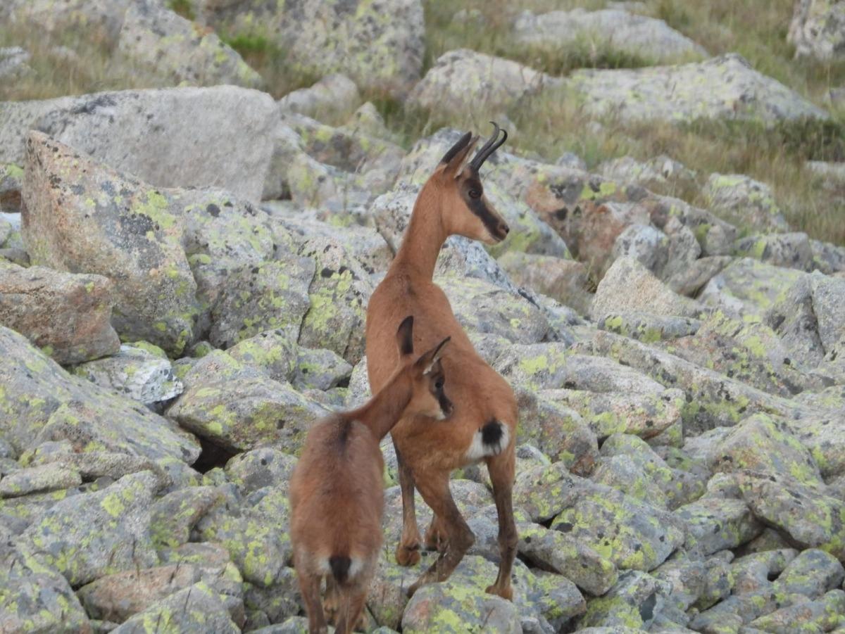 El recompte d'isards ha detectat una població absoluta de 1.217 animals a les muntanyes del país.