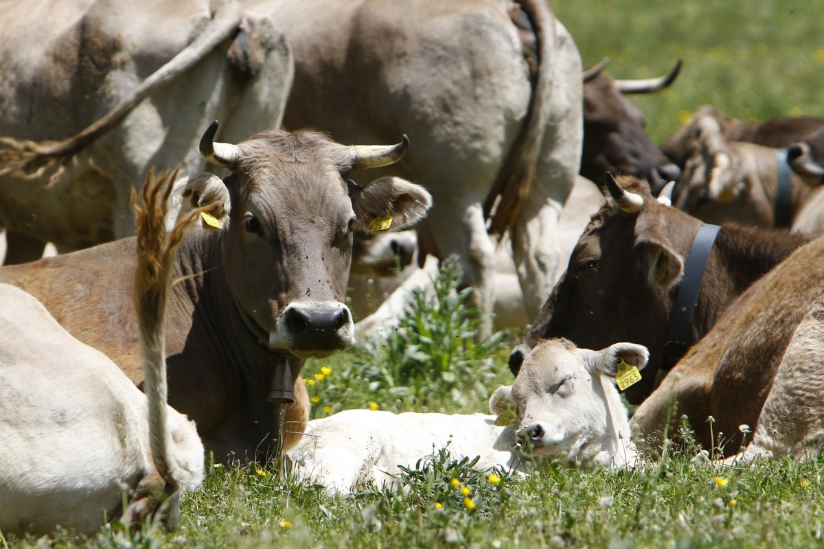 Bestiar pasturant a Setúria.