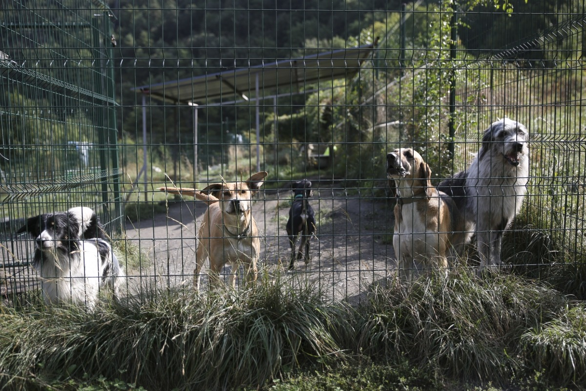 Gossos en un tancat de la gossera.
