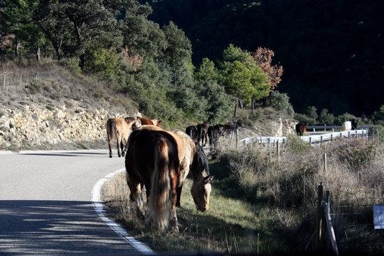Cavalls de la Fundació Miranda fent la transhumància per Coll de Nargó.