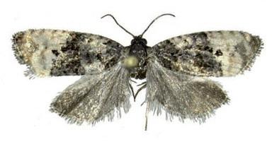 Exemplar adult de Metendothenia Atropunctana.