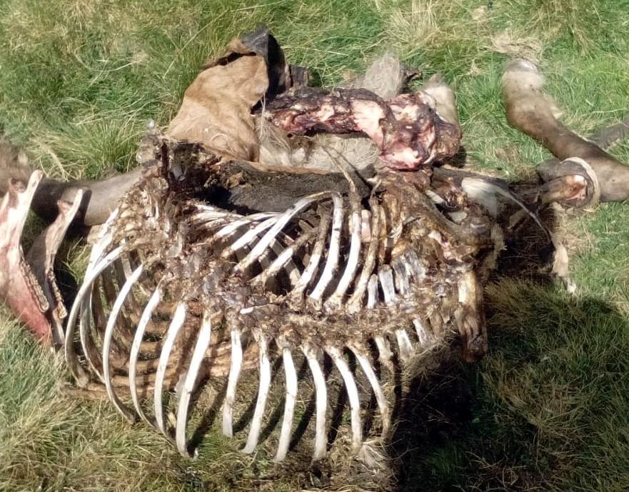 L'euga morta per un atac de Cachou el 4 de setembre.