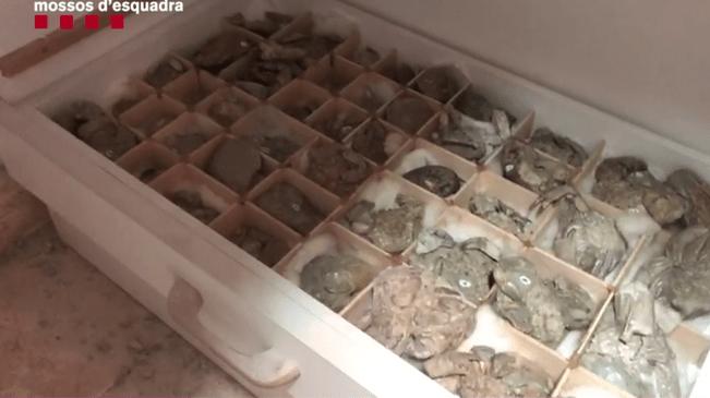 Part de la col·lecció de fòssils comissada a 'El Senyor dels Crancs'.