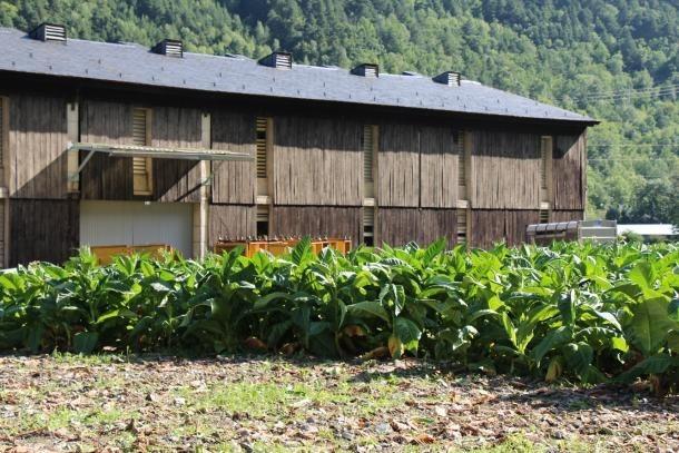 Camp de conreu de tabac. La planta ha protagonitzat un conflicte històric a les Valls d'Andorra.
