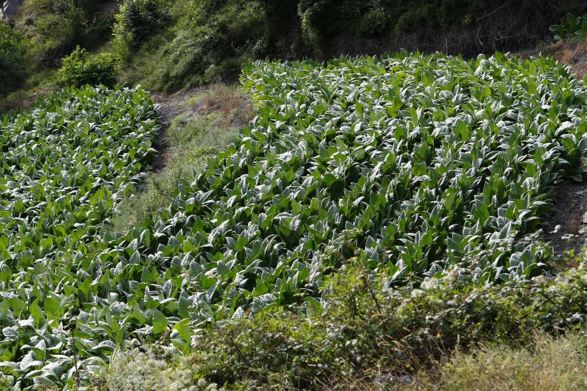 El cultiu del tabac representa únicament el 7,1% del total de superfície agrària útil.