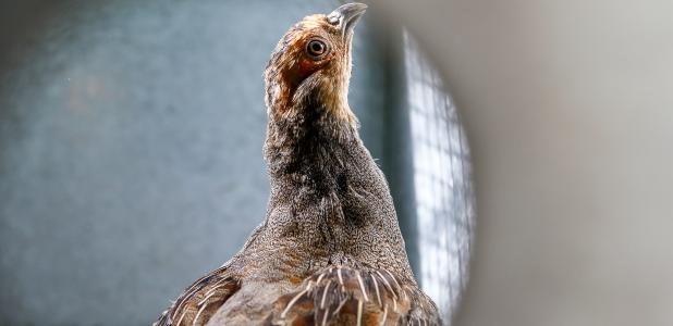 Una perdiu xerra al centre de reproducció en captivitat de Llumeneres.