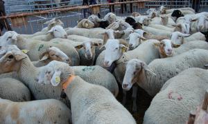 Ramaders d'Andorra valora positivament l'acollida de la carn de pollí i vol potenciar la de corder