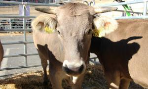 Caps de bestiar en una fira recent