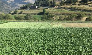 El tabac genera el 75% dels ingressos del sector tot i que només ocupa el 8% de la superfície agrària útil del país