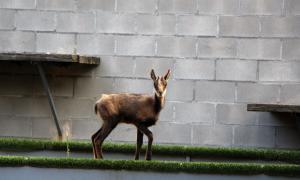 La Unitat de fauna posposa l'alliberament d'una cria d'isard La Unitat de fauna posposa l'alliberament d'una cria d'isard