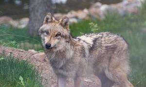 La desaparició de l'animal va obligar a evacuar les instal·lacions de la Cota 2000 de Naturlàndia, fins que va ser localitzat, mort, a la bassa dels llops.