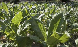 la producció va baixar un 10% i Encamp va perdre dos terços del tabac recollit l'any anterior