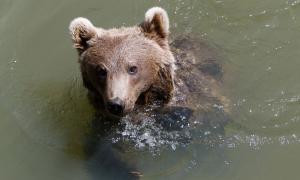 Naturlàndia accepta la sanció de Medi Ambient per la mort de l'os