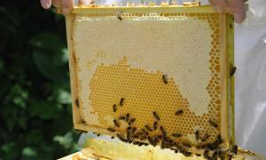 Neguit dels apicultors per la pèrdua important de colònies d'abelles