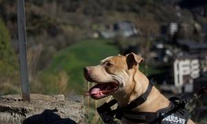 En Kurt té quatre anys i mig, és una barreja d'American i Pitbull i és considerat un gos de raça potencialment perillosa.