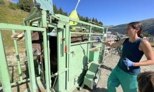 Més de 200 caps de bestiar s'han sotmès al sanejament, avui, a Canillo.