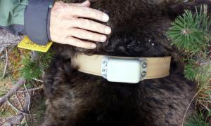 La col·locació del collar de seguiment a l'os Goiat.