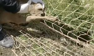 La cria de cabirol rescatada pels banders.