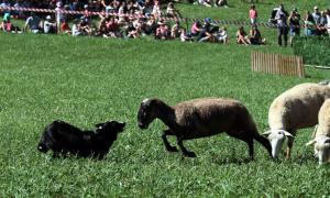 El 30è concurs de gossos d'atura de Llavorsí aplega uns 2.000 espectadors