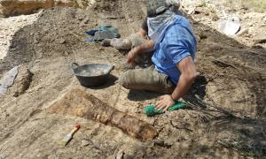 Un os de l'avantbraç d'un titanosaure, una ulna, recuperat a les Gavarres.
