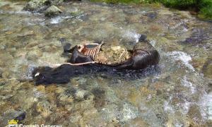 L'euga morta al mig del riu com a conseqüència de l'atac de Goiat.