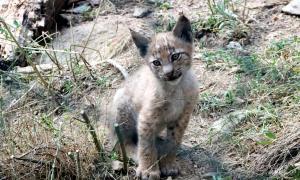El cadell de linx nascut al centre MónNatura Pirineus.