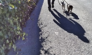 Un home passeja acompanyat de dos gossos.