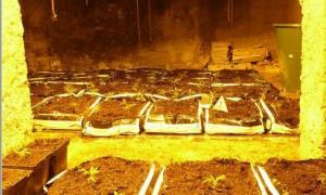 La plantació de marihuana.